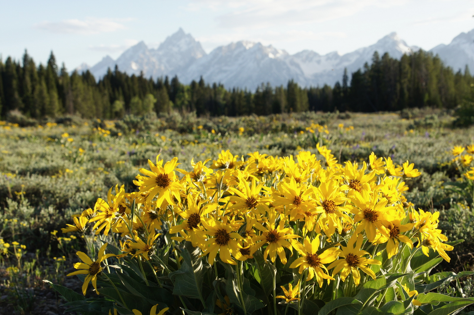 I know, I know, you've seen it...but it's just so pretty with flowers and mountains! (Grand Teton)